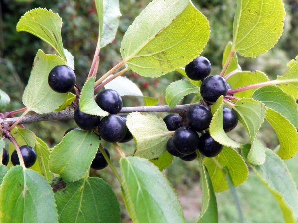 Common or Purging Buckthorn
