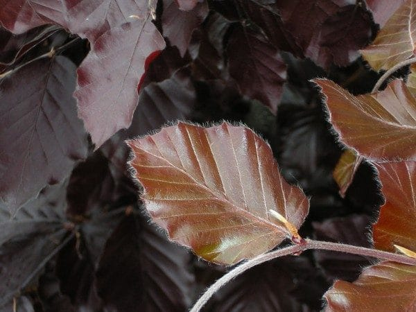 Purple or Copper Beech