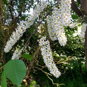 Bird Cherry (Prunus padus)