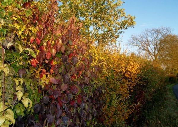 Economy Native Farm Hedge