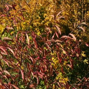 Exotic Native Hedge Mix