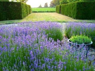 Lavender Hedging