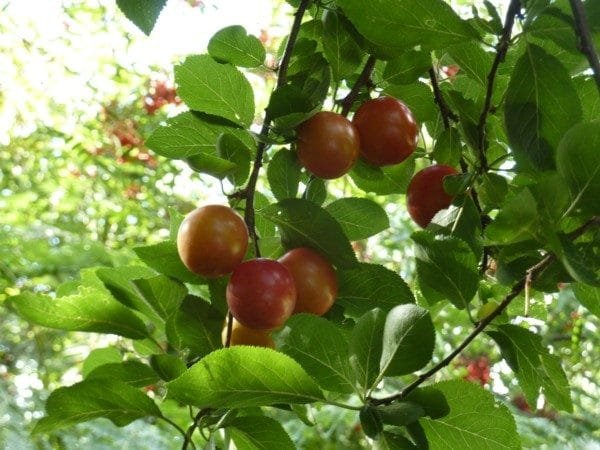 Myrobalan or Cherry Plum