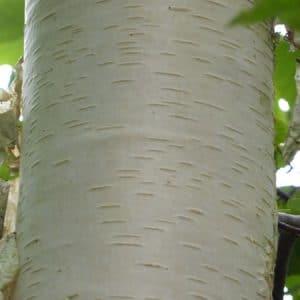 Betula papyrifera. Paper Bark Birch