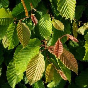 Hornbeam Hedging (Carpinus betulus)