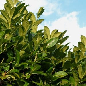 Common Laurel (Prunus laurocerasus)