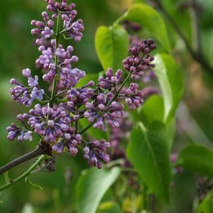 Common Lilac hedging