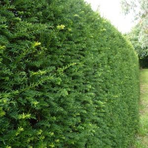 Yew Hedging (Taxus baccata)