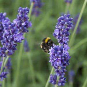 Lavender Hidcote Hedging